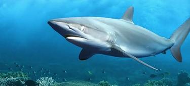 Масло печени акулы