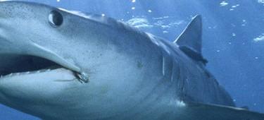 акулий хрящ