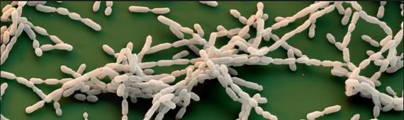 бактерия C. novyi-NT